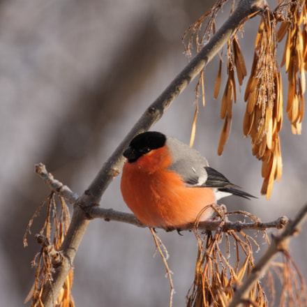 Bullfinch, Canon EOS 50D, Tamron SP 70-300mm f/4.0-5.6 Di VC USD