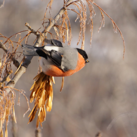 Bullfinch male, Canon EOS 50D, Tamron SP 70-300mm f/4.0-5.6 Di VC USD