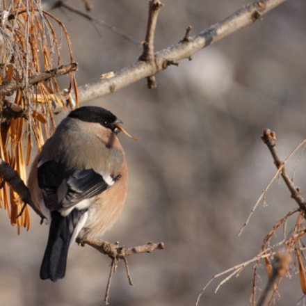 Bullfinch female, Canon EOS 50D, Tamron SP 70-300mm f/4.0-5.6 Di VC USD