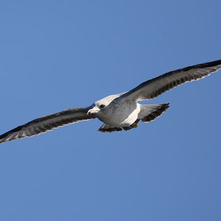 Soaring gull, Canon EOS-1D X, 150-600mm F5-6.3 DG OS HSM | Contemporary 015