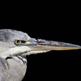 grey heron by Ralf Muhl (ralf866)) on 500px.com