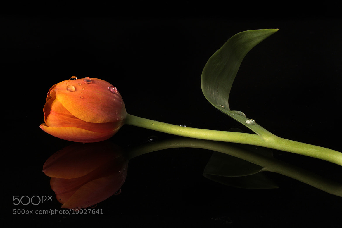 Photograph Tulip and drops with reflections by Cristobal Garciaferro Rubio on 500px