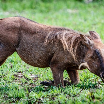 Warthog, Canon EOS 40D, Canon EF 70-200mm f/2.8L IS + 1.4x