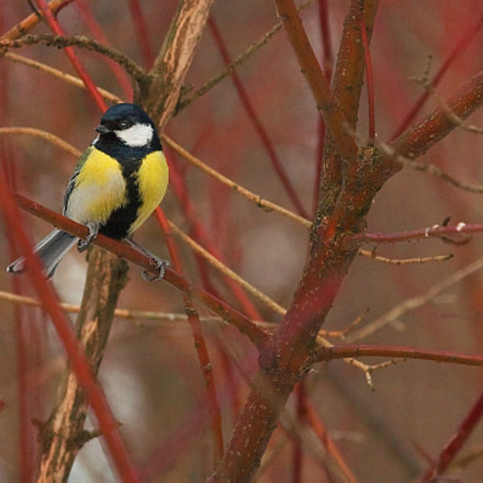 Great tit, Canon EOS 5D, Canon EF 80-200mm f/2.8L
