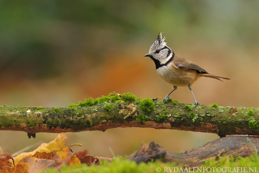 Photograph Crested Tit (Parus cristatus) by Remco van Daalen on 500px