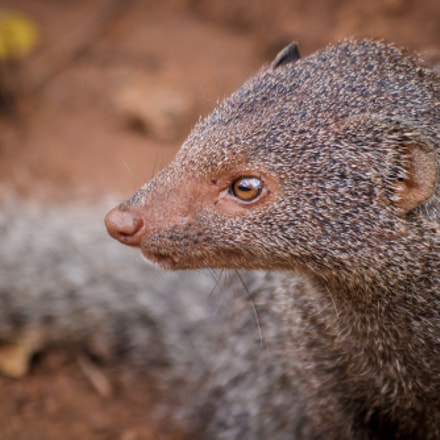 Ruddy Mongoose Close Up, Canon EOS KISS X5, Canon EF 70-300mm f/4-5.6 IS USM