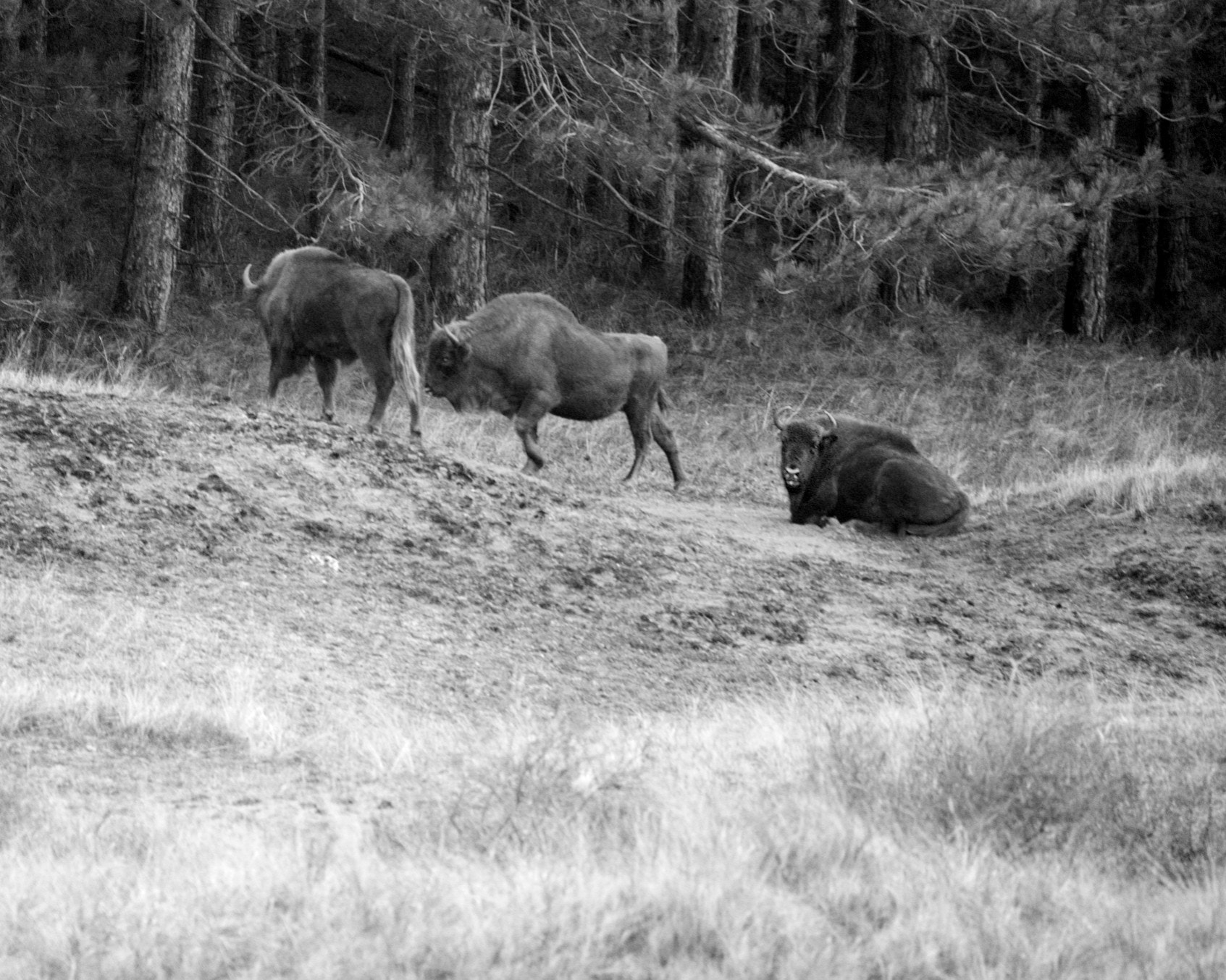 Photograph Wisents in the wild at Kraansvlak by Johan Hoogerbrug on 500px