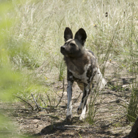 wilddog, Canon EOS 1100D, Canon EF 70-200mm f/4L IS