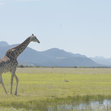 giraffe savanna, Canon EOS 1100D, Canon EF 70-200mm f/4L IS