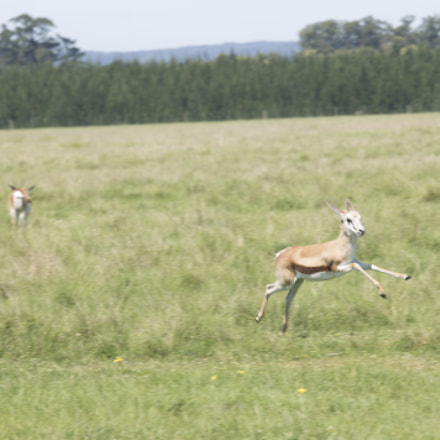 Springbok, Canon EOS 1100D, Canon EF 70-200mm f/4L IS