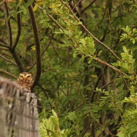 Burrowing owl, Canon EOS REBEL T3, Canon EF 75-300mm f/4-5.6 USM