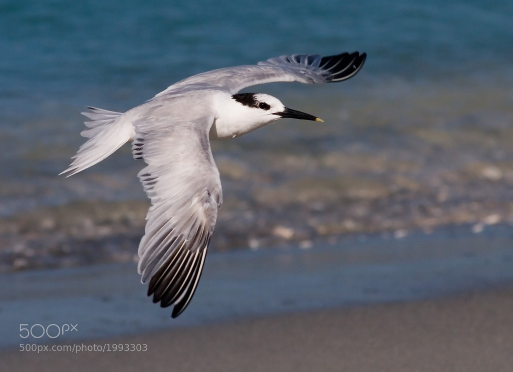 Photograph Sandwich Tern by Phil Armishaw on 500px