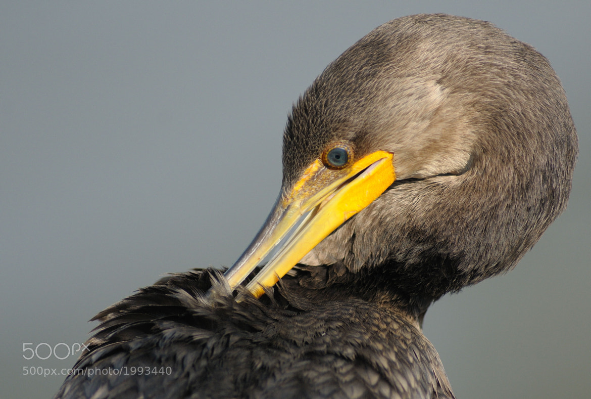 Photograph Double Crested Cormorant (Juvenile) by Mark Schwall on 500px