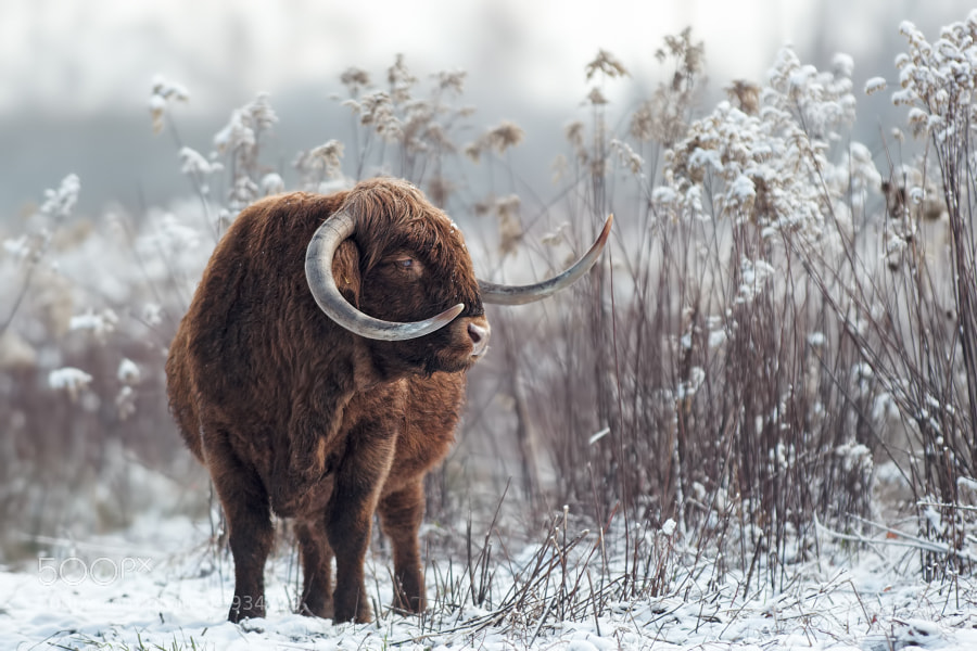 Photograph Cow under the snow by Stéphane ABCDEF on 500px