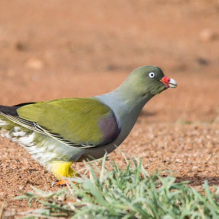 African Green Pigeon, Nikon D3200, Sigma 150-500mm F5-6.3 DG OS APO HSM