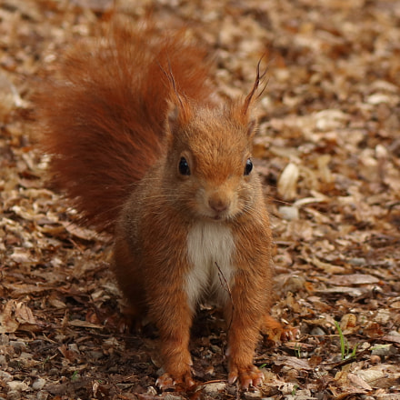 Red squirrel, Canon EOS 750D, Canon EF-S 18-55mm f/3.5-5.6 IS STM