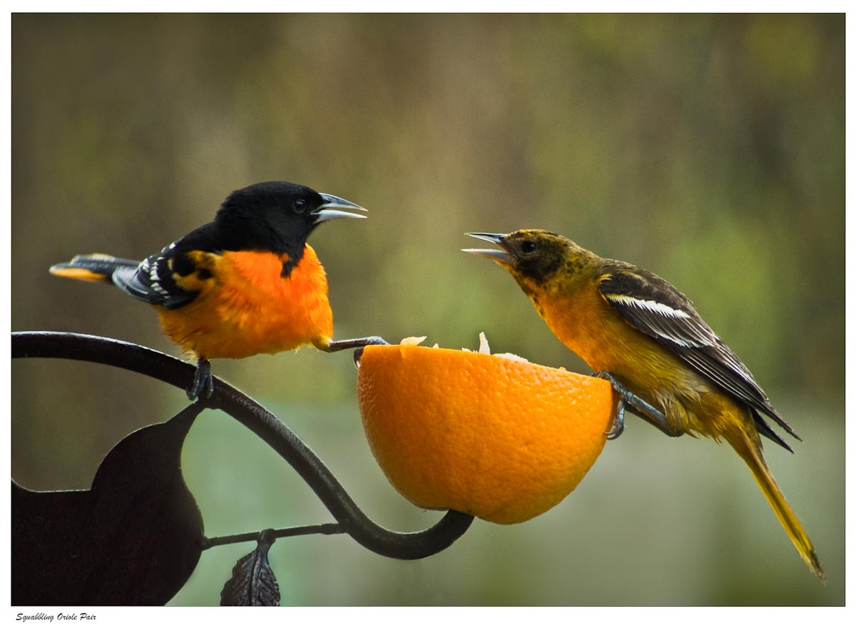 Photograph Squabbling Oriole Pair by Ort Baldauf on 500px