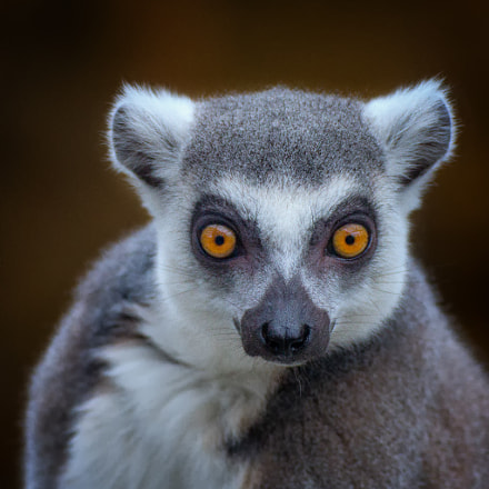 Hypnotic lemur.., Canon EOS 60D, Tamron SP 70-300mm f/4.0-5.6 Di VC USD
