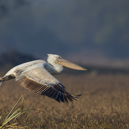 GREAT WHITE PELICAN, Canon EOS-1D X, Canon EF 800mm f/5.6L IS