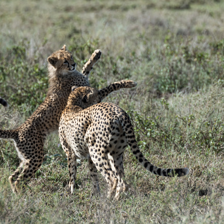 young cheetah playing with, Nikon D810, AF-S Nikkor 80-400mm f/4.5-5.6G ED VR