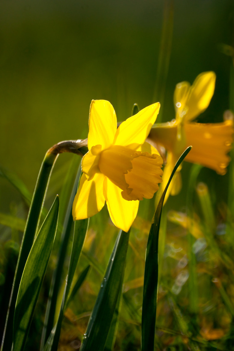 Photograph Gower Daffodil by MinoltaD on 500px