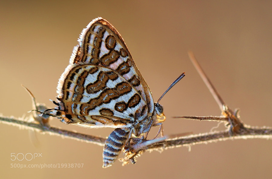 Photograph Levantine leopard-Cigaritis acamas by yilmaz uslu on 500px