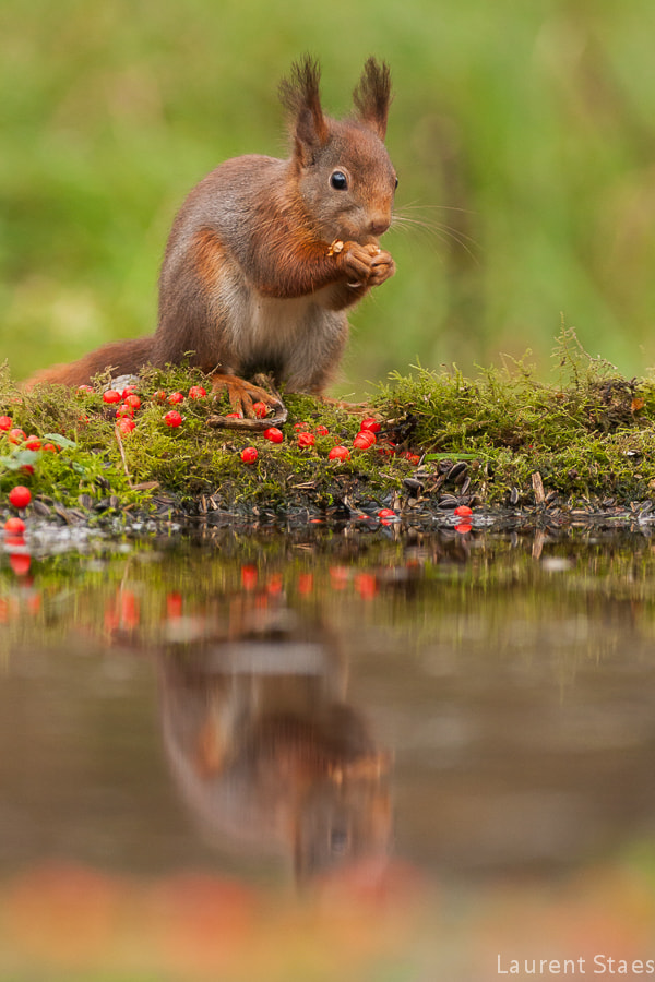Photograph Red Squirrel II by Laurent Staes on 500px