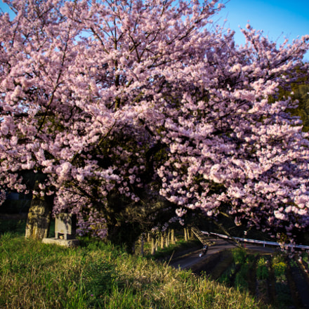 Cherry Blossom, Canon EOS KISS X5, Canon EF-S 17-55mm f/2.8 IS USM