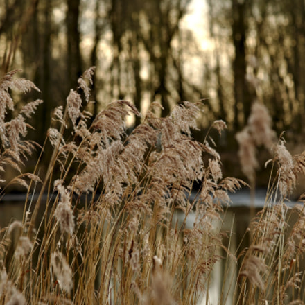 Reed in the wintersun, Canon EOS 70D, Canon EF 70-300mm f/4-5.6 IS USM
