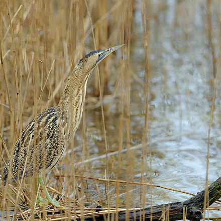 Great Bittern in his, Canon EOS-1D X, Canon EF 300mm f/2.8L IS