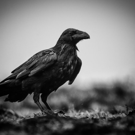 The mysterious raven Corvus, Canon EOS-1D X MARK II, Canon EF 300mm f/2.8L IS II USM