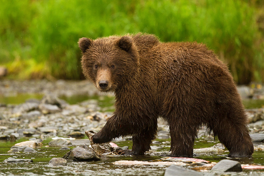 It was one hell of a rainy day...for me...but for this cute little grizzly cub it was just another day of fishing on the river...so, I took his picture!