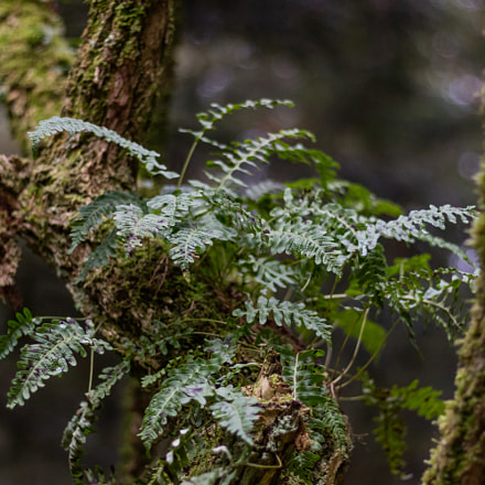 Fern on a tree, Canon EOS M3, Canon EF 50mm f/1.8 STM
