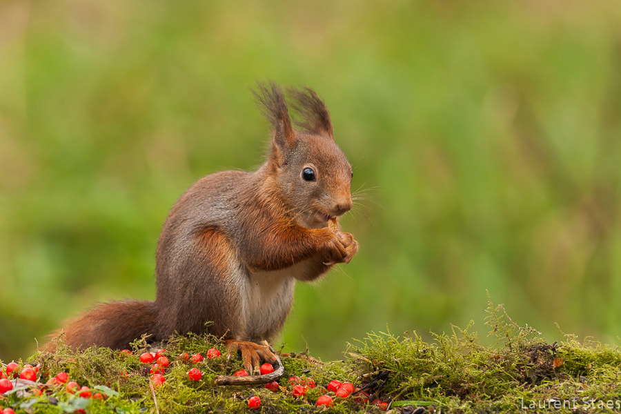 Photograph Red Squirrel III by Laurent Staes on 500px