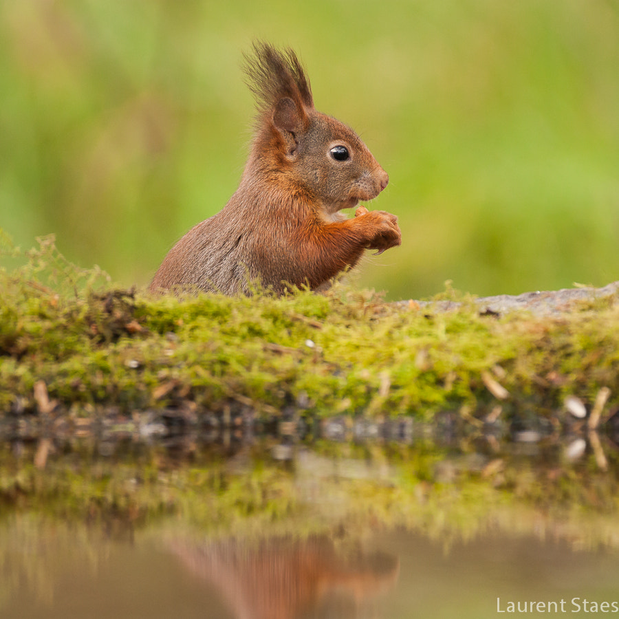 Photograph Red Squirrel IV by Laurent Staes on 500px