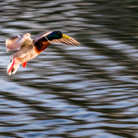 mallard in flight, RICOH PENTAX K-1, smc PENTAX-DA* 200mm F2.8 ED [IF] SDM