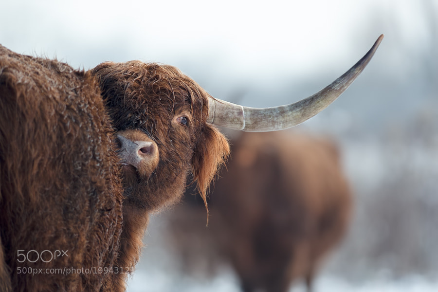 Photograph Cow under the snow 2 by Stéphane ABCDEF on 500px