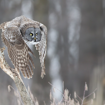 Great grey owl Chouette, Canon EOS-1D X, Canon EF 600mm f/4L IS