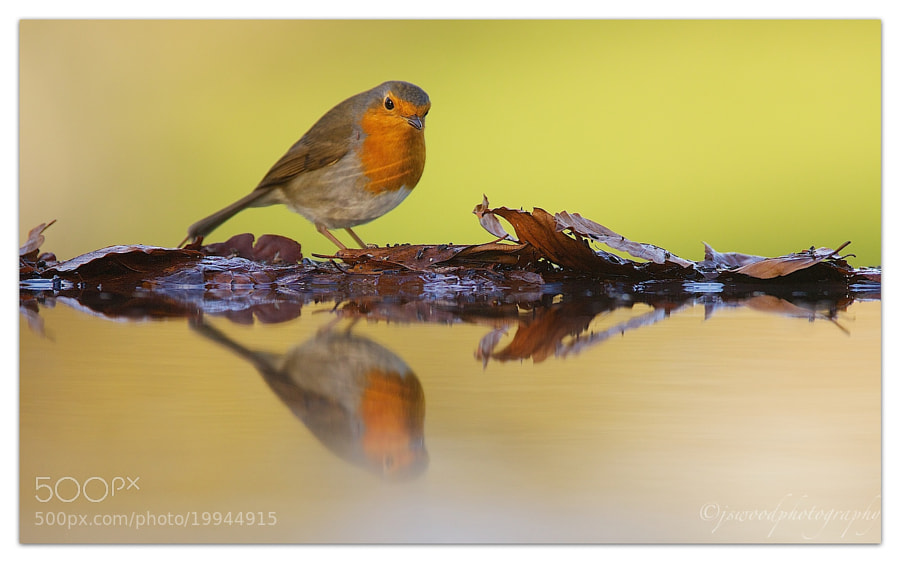 Photograph Robin by Jason Wood on 500px