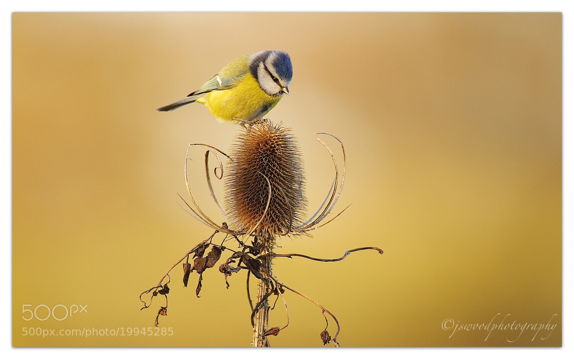 Photograph Blue Tit  by Jason Wood on 500px