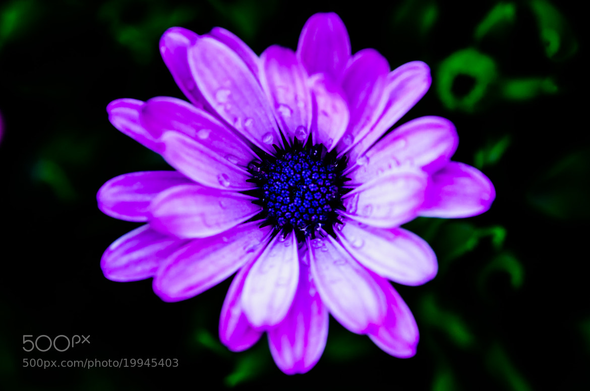 Photograph Flower, purple by Florian Szasz on 500px