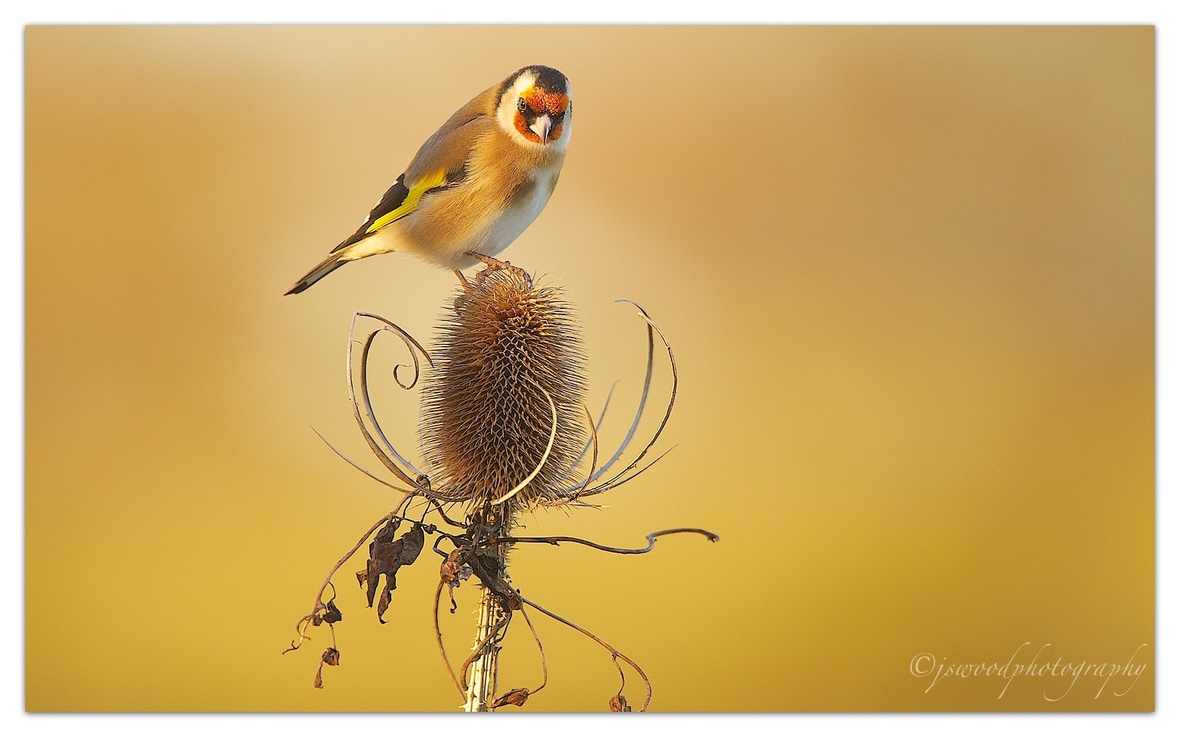 Photograph Goldfinch by Jason Wood on 500px