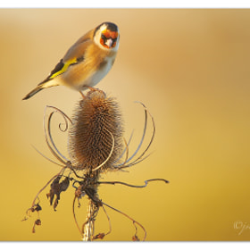 Goldfinch by Jason Wood (jswood)) on 500px.com