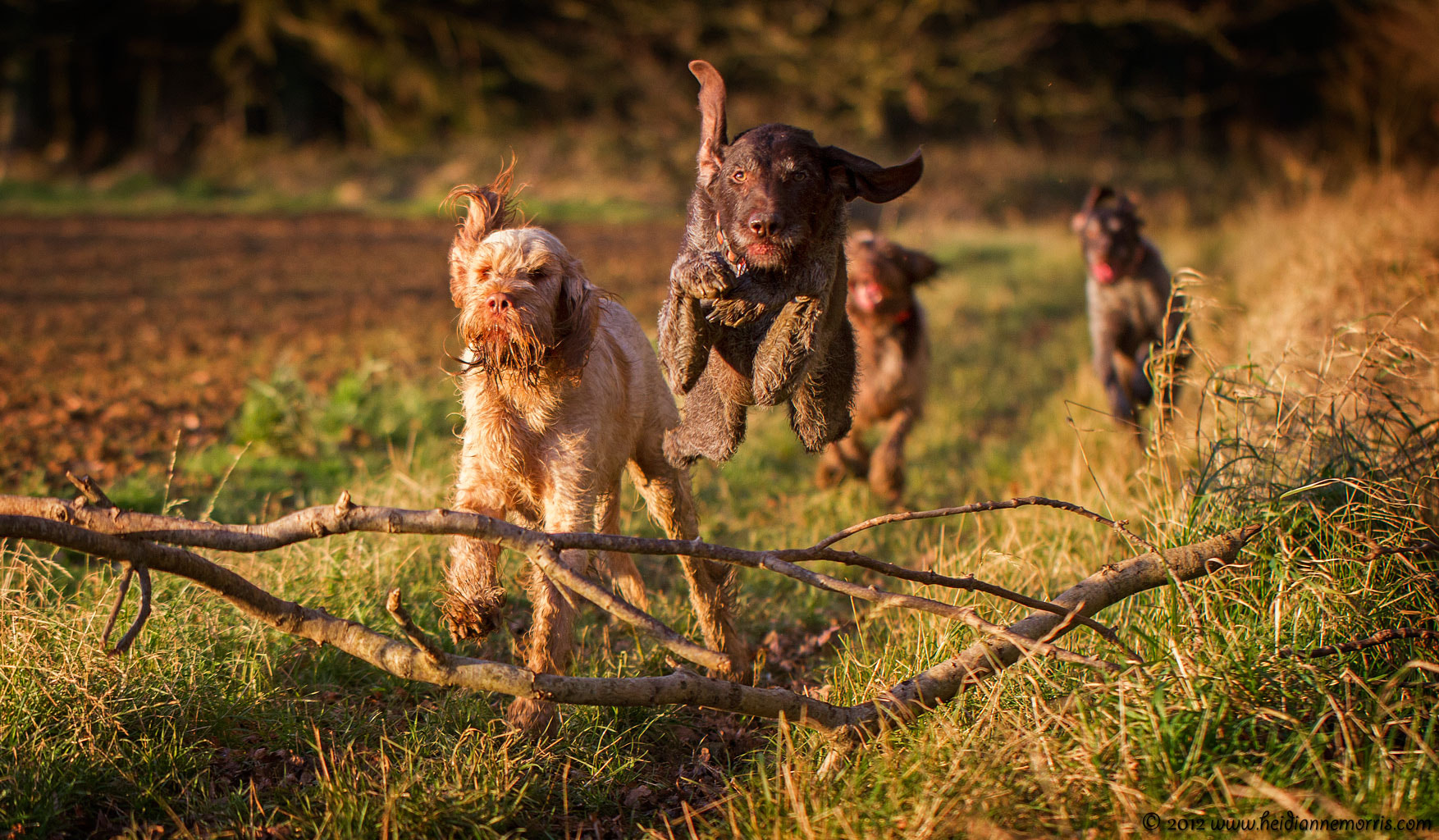 Photograph German Wirehaired Pointer Frodo  by Heidi Anne on 500px