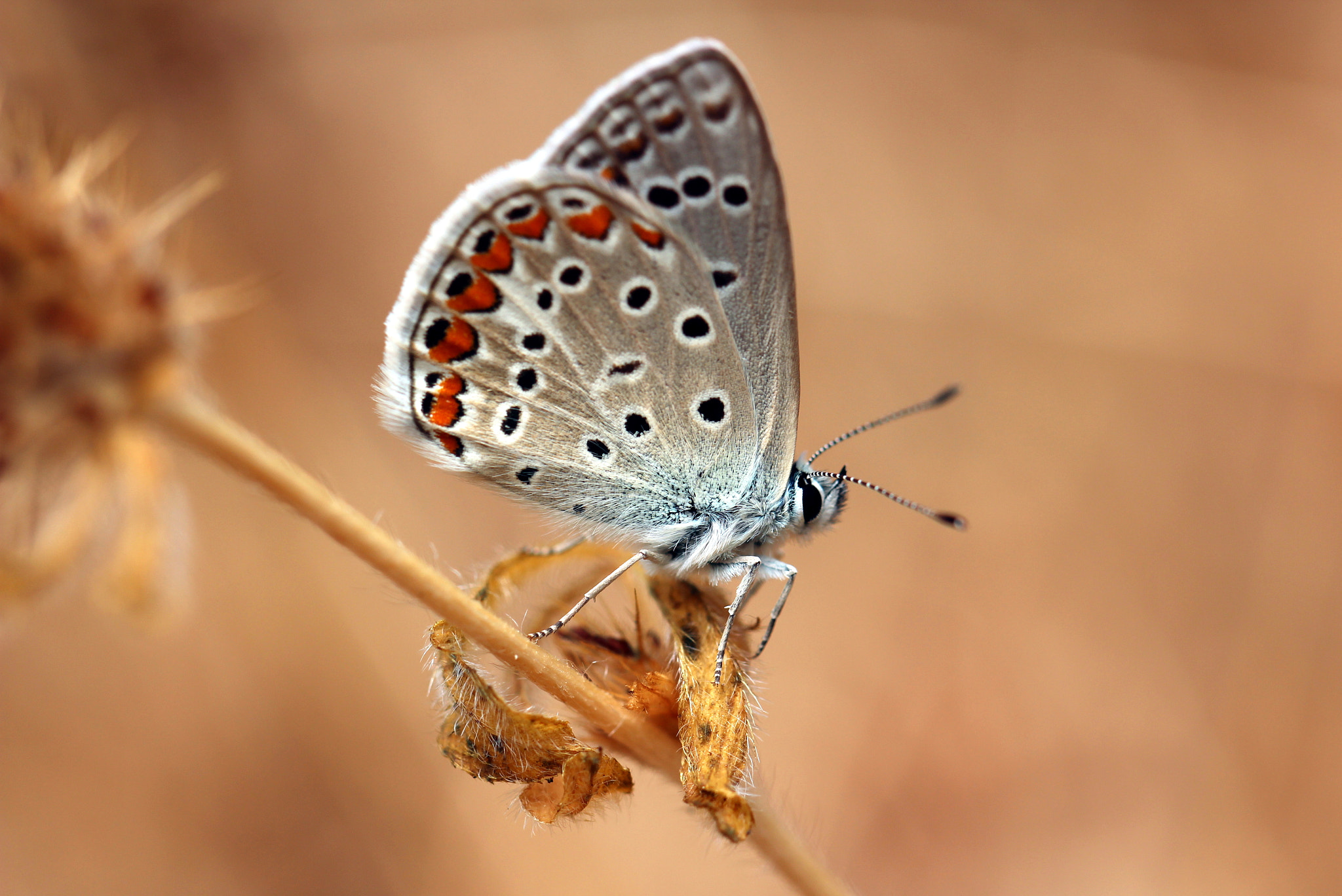Photograph Polyommatus icarus by Julia H on 500px
