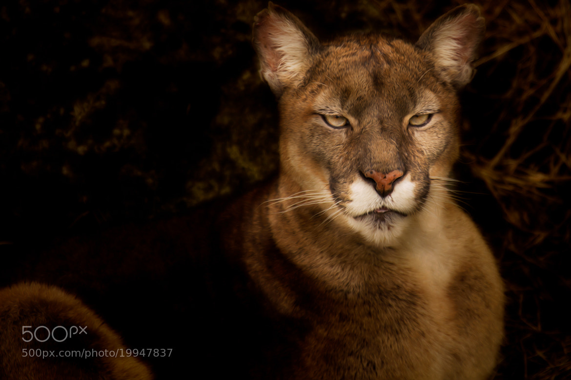 Photograph El Puma  by Denis Van Linden on 500px