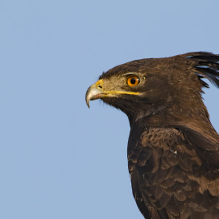 Long Crested Eagle, Canon EOS 70D, Canon EF 600mm f/4L IS