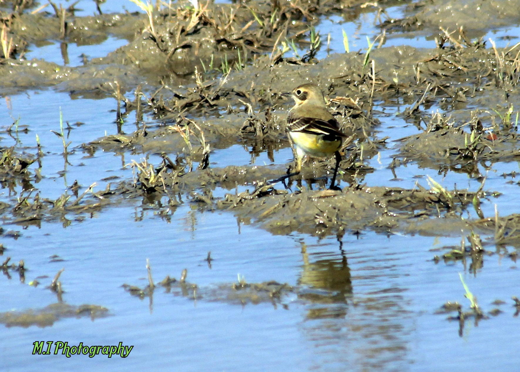 Photograph yellow wagtail by Mohamed Ismael on 500px