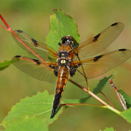 The four-spotted chaser Libellula, Canon EOS 5D MARK II, Sigma APO Macro 150mm f/2.8 EX DG HSM