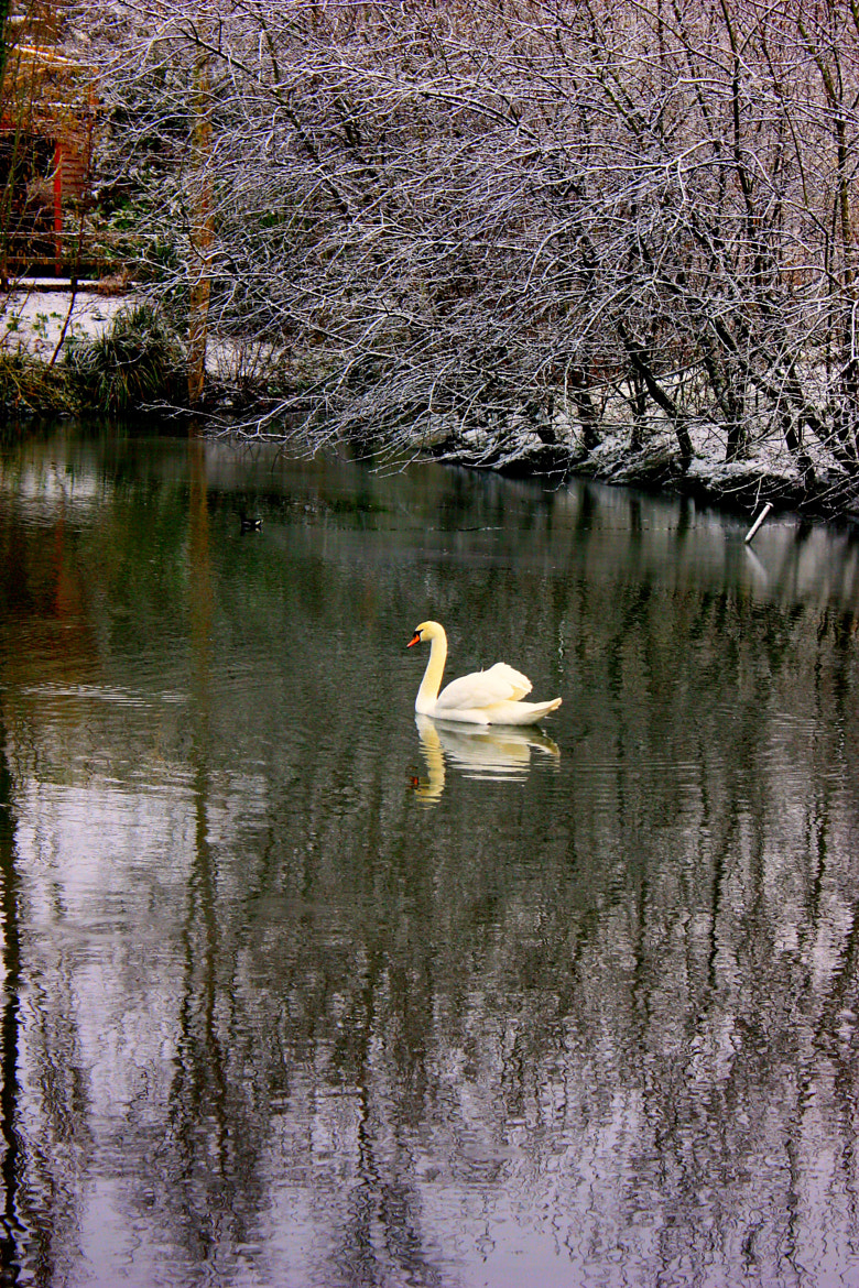 Photograph img 405 Swan Lake 1 by Martys Photos on 500px